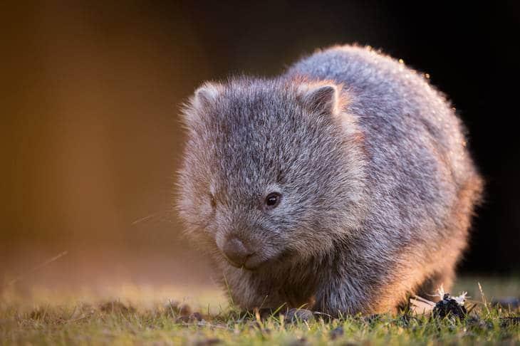 wombat - tasmanie - animaux en australie - nature australie