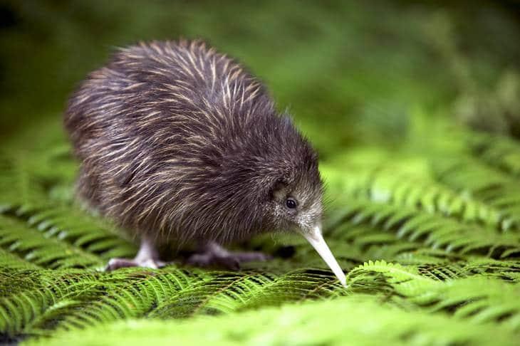 Ou voir les animaux de Nouvelle-Zélande - kiwi - nature